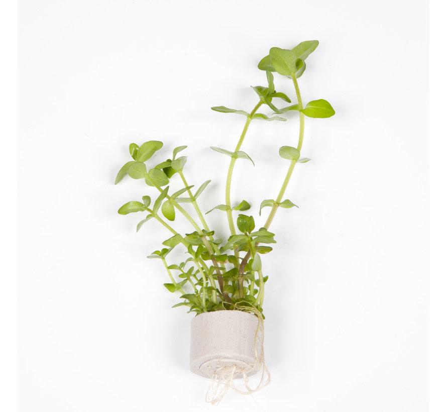 Bacopa caroliniana - Mini pot in single package