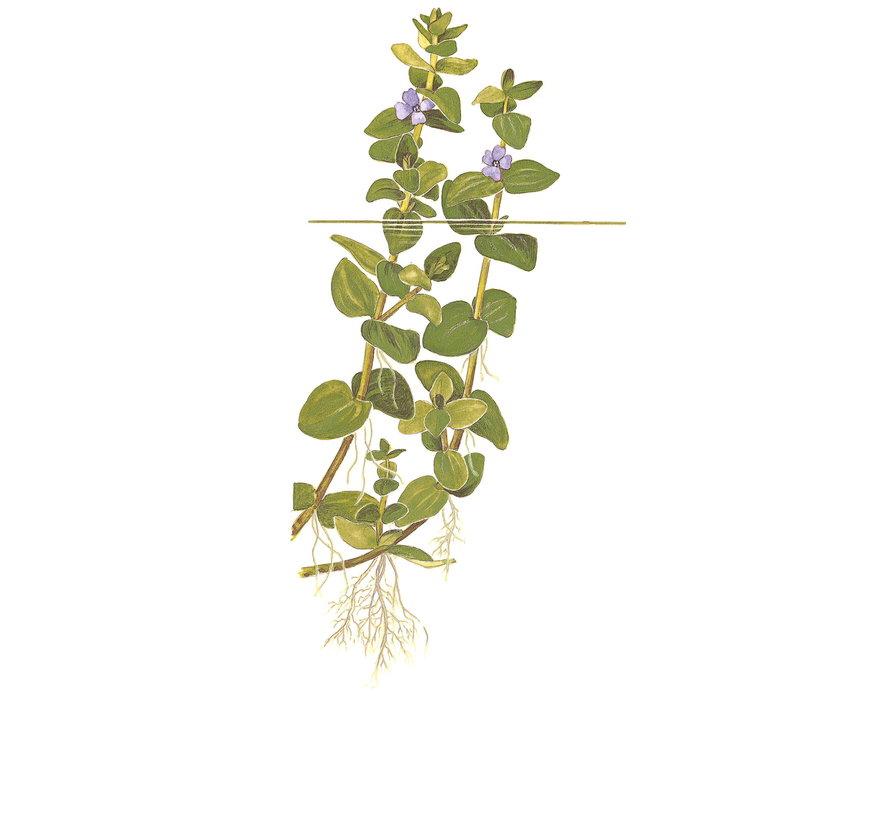 Bacopa caroliniana - 1-2-Grow!
