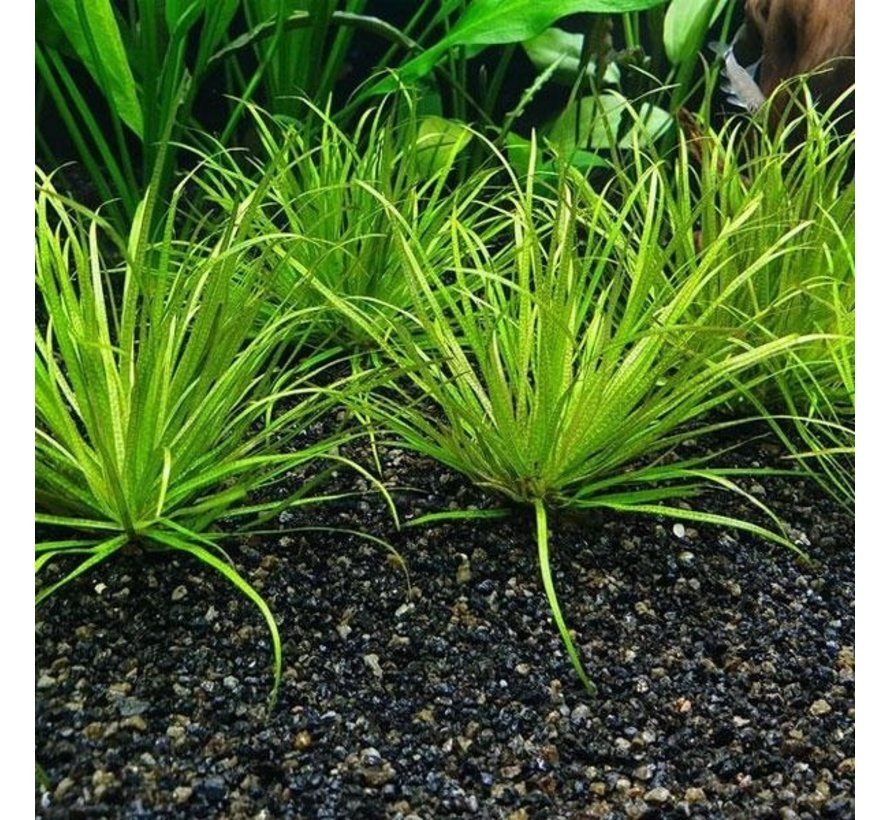 Blyxa japonica - 1-2-Grow!