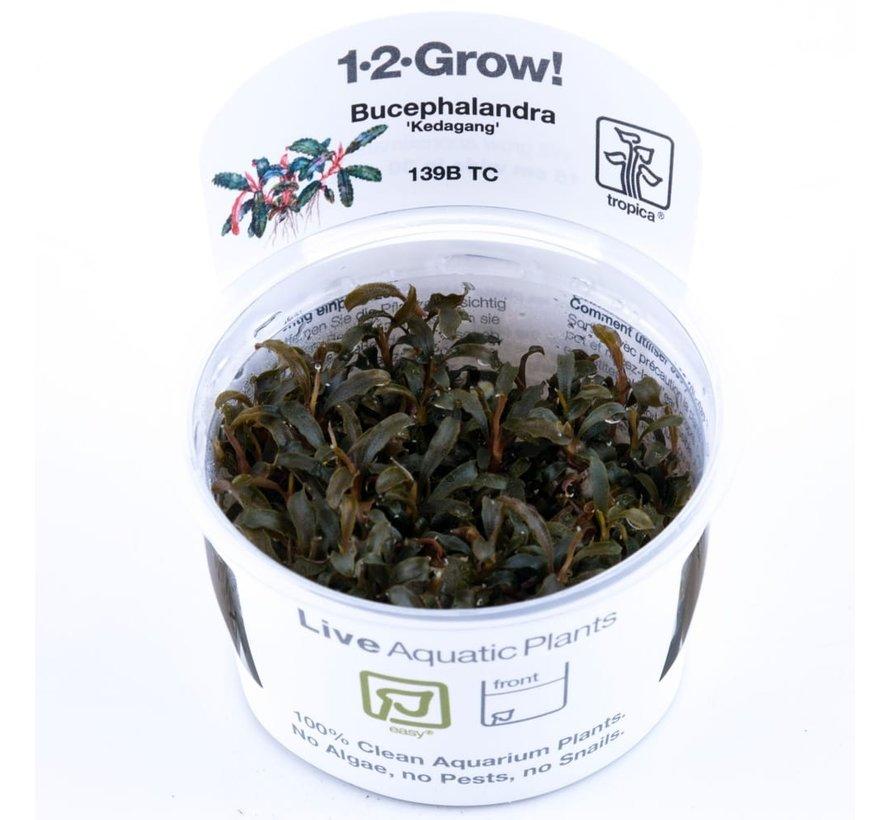 Bucephalandra Kedagang - 1-2-Grow