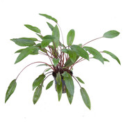 Tropica Cryptocoryne beckettii Petchii - pot single package