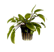 Tropica Cryptocoryne wendtii Green - pot single package