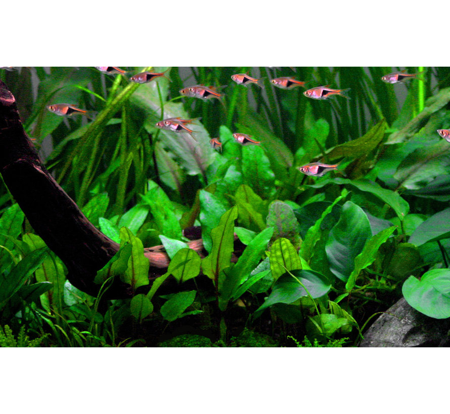 Cryptocoryne wendtii Green - pot single package