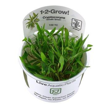 Tropica Cryptocoryne wendtii Green - 1-2-GROW!