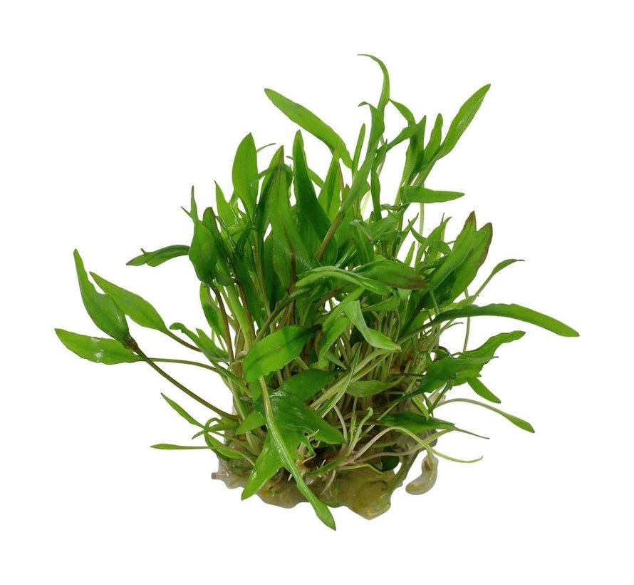 Cryptocoryne wendtii Green - 1-2-GROW!