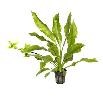 Tropica Echinodorus grisebachii Bleherae - pot single package