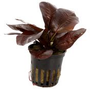 Tropica Echinodorus Reni - pot single package