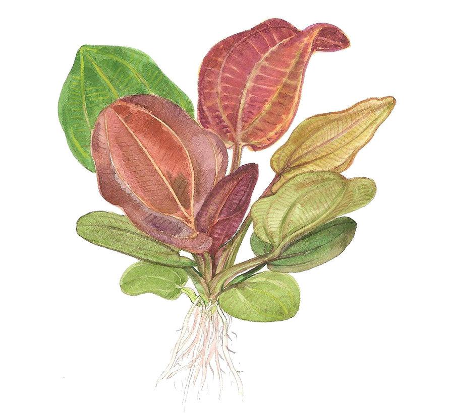 Echinodorus Reni - pot single package