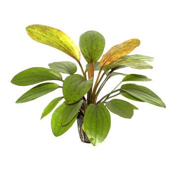 Tropica Echinodorus Rosé - pot single package