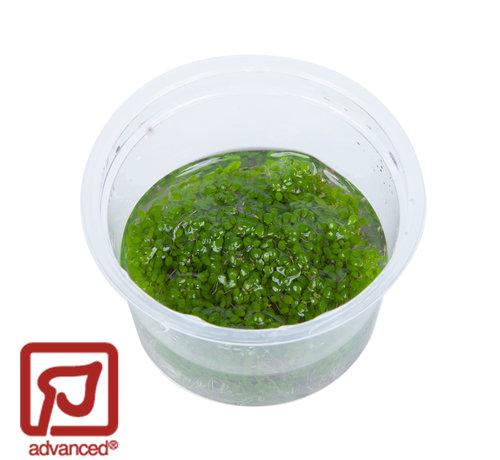 Tropica Elatine hydropiper - 1-2-Grow!