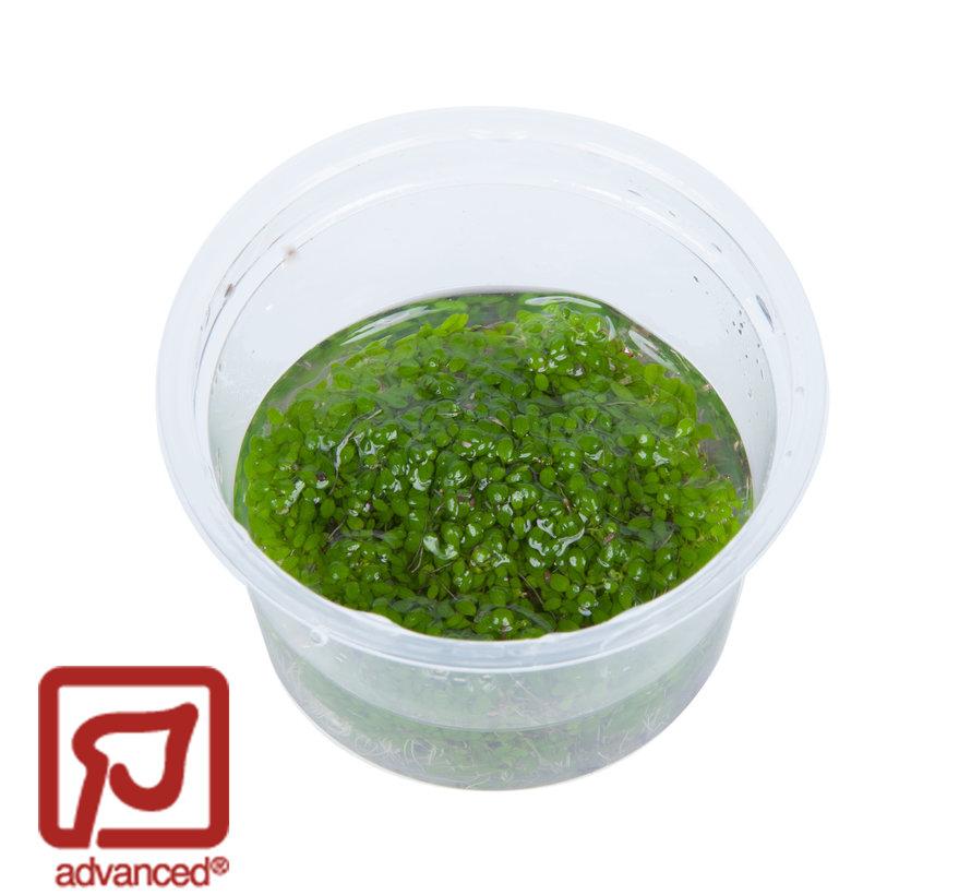 Elatine hydropiper - 1-2-Grow!