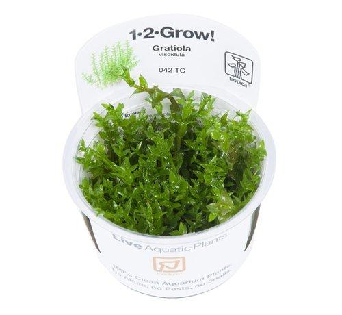 Tropica Gratiola viscidula - 1-2-GROW!