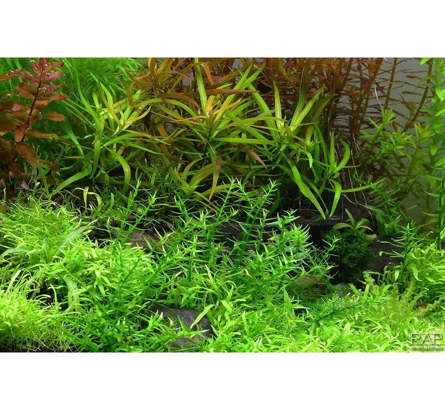 Gratiola viscidula - 1-2-GROW!