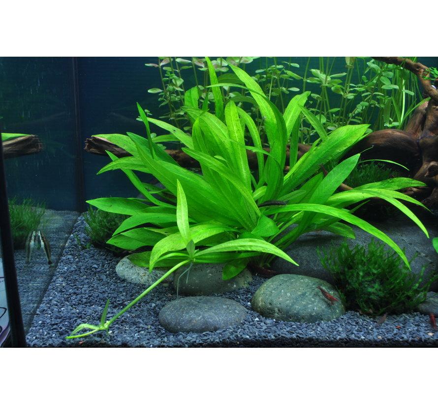 Helanthium Quadricostatus - 1-2-GROW!