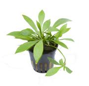 Tropica Helanthium Quadricostatus - pot single package