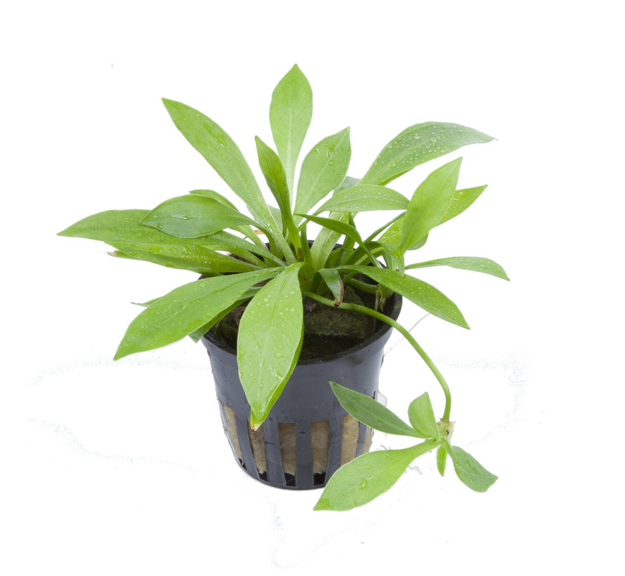 Helanthium Quadricostatus - pot single package