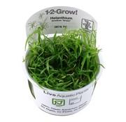 Tropica Helanthium tenellum Green - 1-2-GROW!