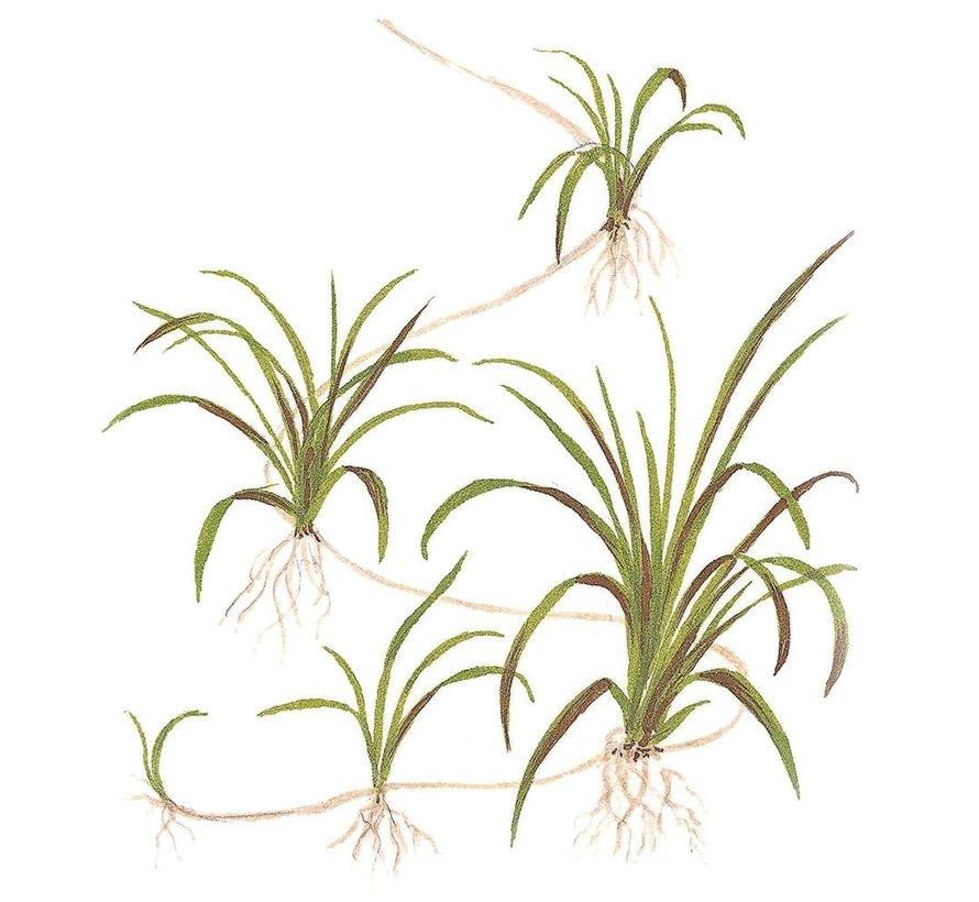 Helanthium tenellum Green - 1-2-GROW!