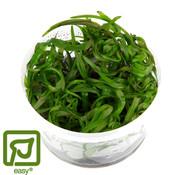 Tropica Heteranthera zosterifolia - 1-2-GROW!