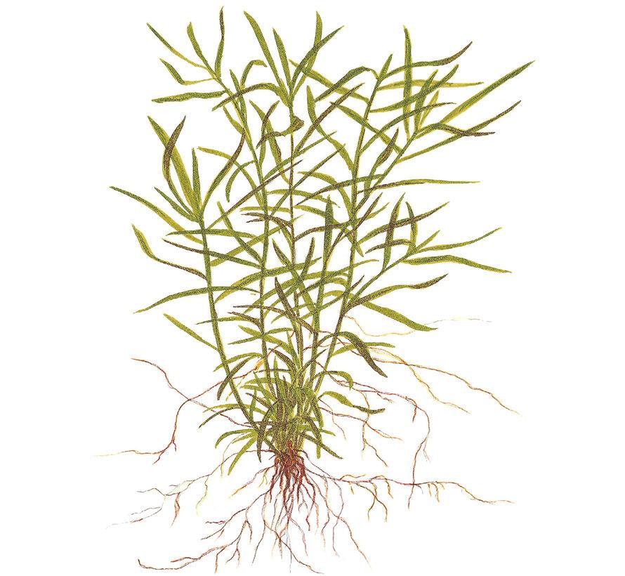 Heteranthera zosterifolia - 1-2-GROW!