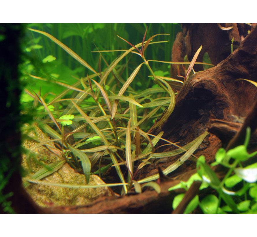 Hygrophila lancea Araguaia  - 1-2-Grow!