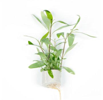 Tropica Hygrophila Siamensis 53B - Mini pot in single package
