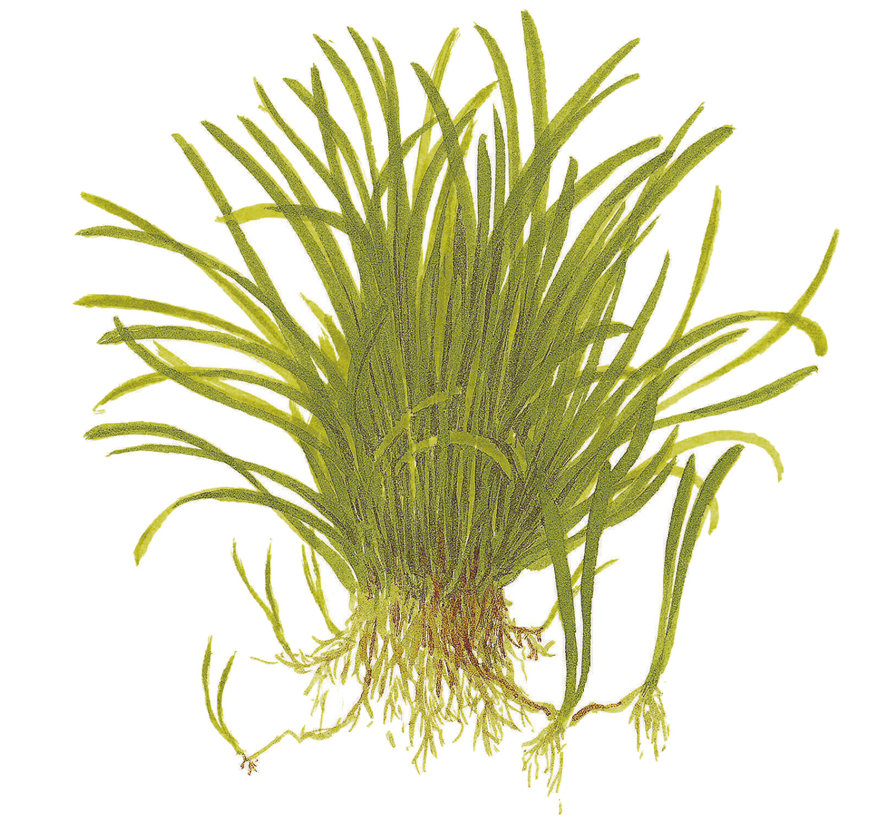Lilaeopsis brasiliensis - 1-2-Grow!