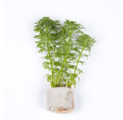 Tropica Limnophila sessiliflora - Mini pot in single package