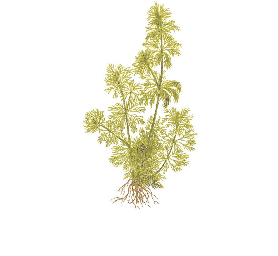 Limnophila sessiliflora - Mini pot in single package