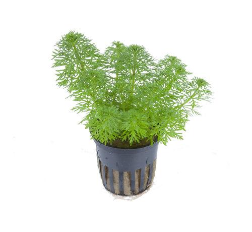 Tropica Limnophila sessiliflora - pot single package