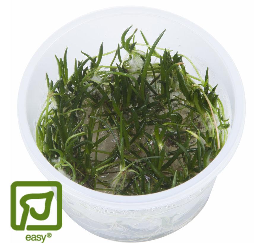 Littorella uniflora - 1-2-GROW!