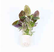 Tropica Lobelia cardinalis - Mini pot in single package