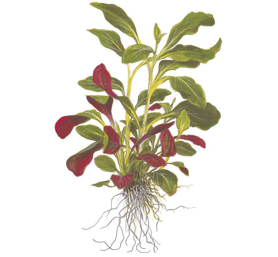 Lobelia cardinalis - Mini pot in single package