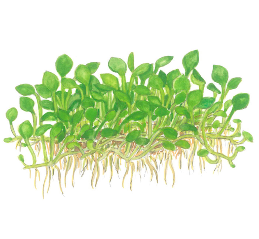 Marsilea crenata - 1-2-Grow!