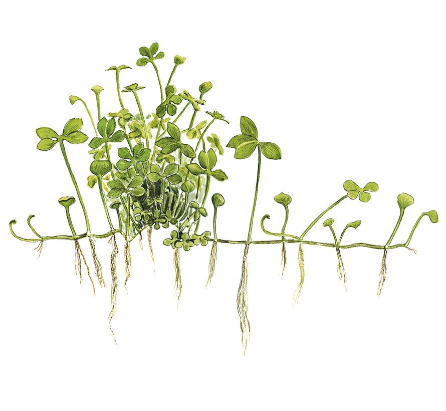 Marsilea hirsuta - 1-2-Grow!