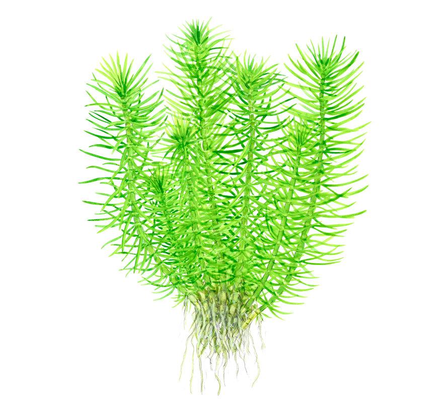 Pogostemon erectus - 1-2-Grow!