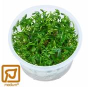 Tropica Ranunculus inundatus - 1-2-Grow!