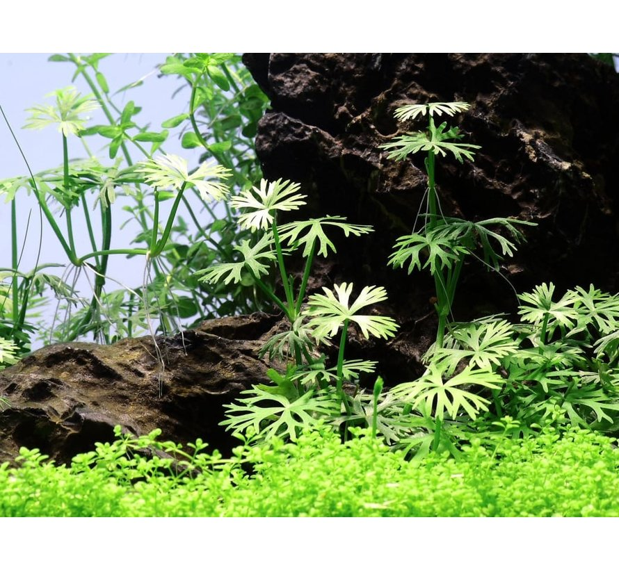 Ranunculus inundatus - 1-2-Grow!