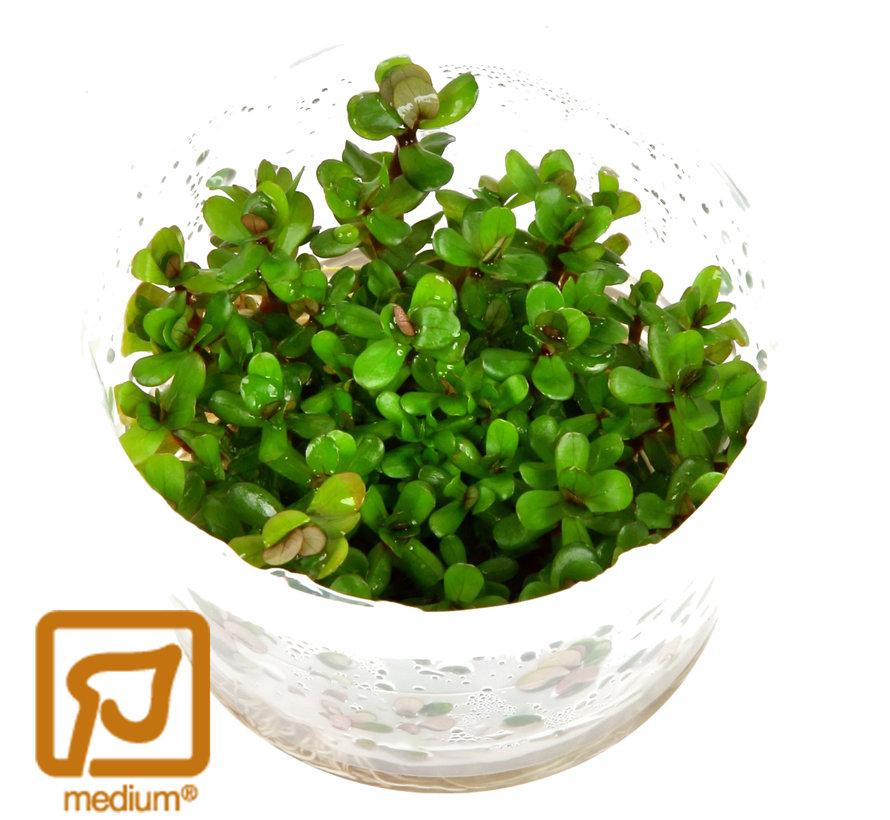 Rotala indica Bonsai - 1-2-GROW!