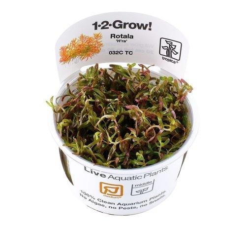 Tropica Rotala rotundifolia H ra - 1-2-GROW!