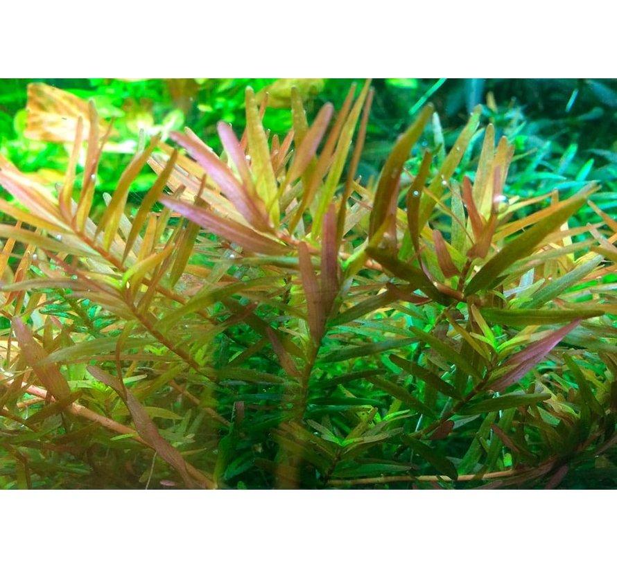 Rotala rotundifolia H ra - 1-2-GROW!