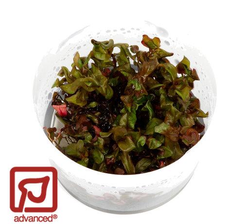 Tropica Rotala macrandra - 1-2-Grow!