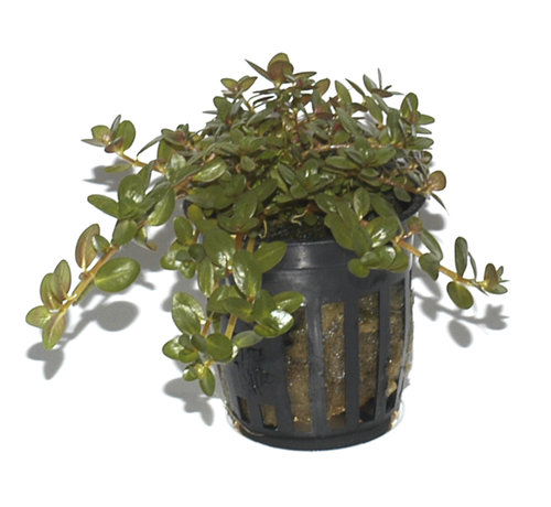 Tropica Rotala rotundifolia - pot single package