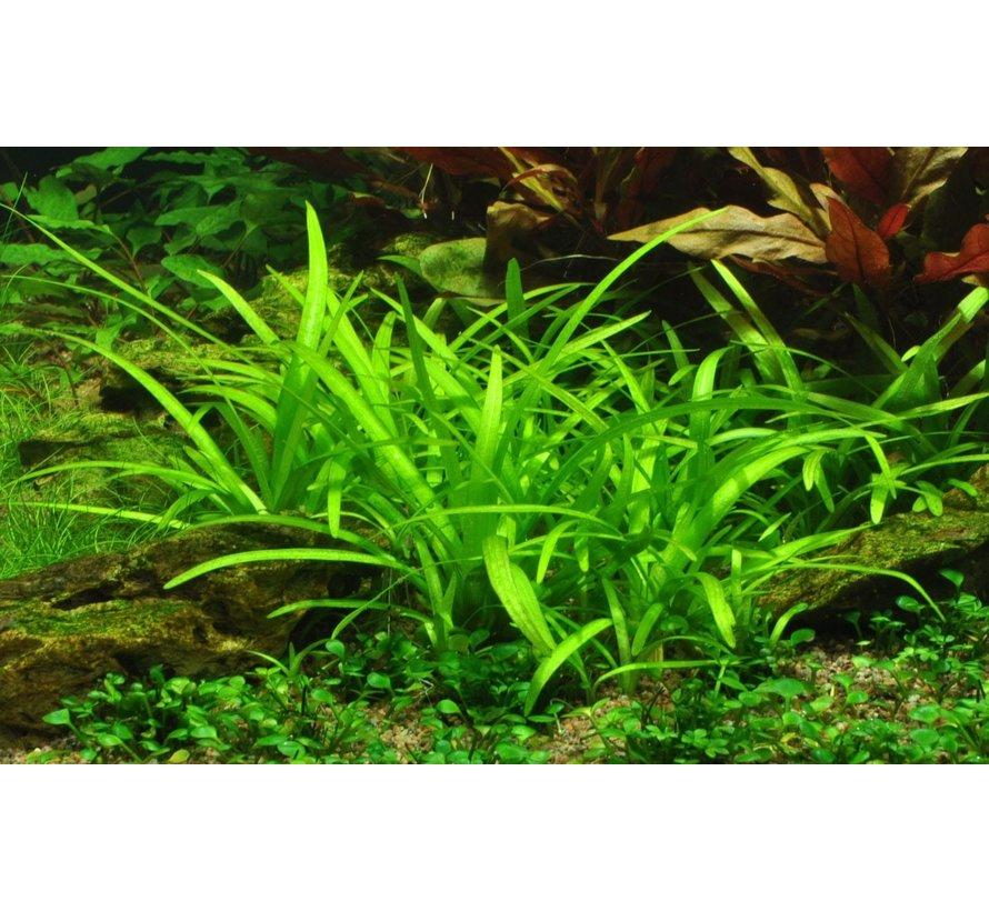 Sagittaria subulata - 1-2-GROW!