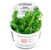 Tropica Rotala rotundifolia Green - 1-2-Grow!