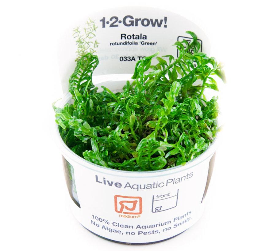 Rotala rotundifolia Green - 1-2-Grow!