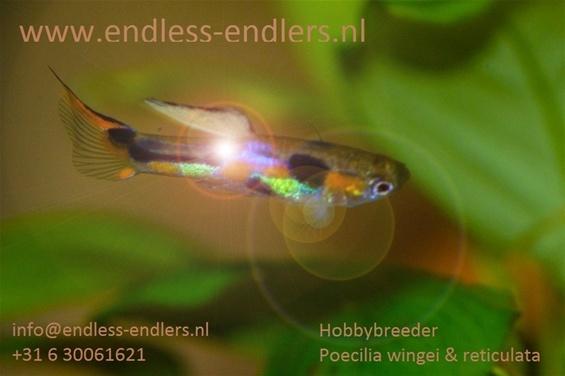 Endless-Endlers.jpg