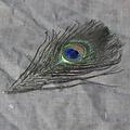 Piume di pavone, 20 centimetri