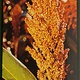 Palmarosa Öl 30ml