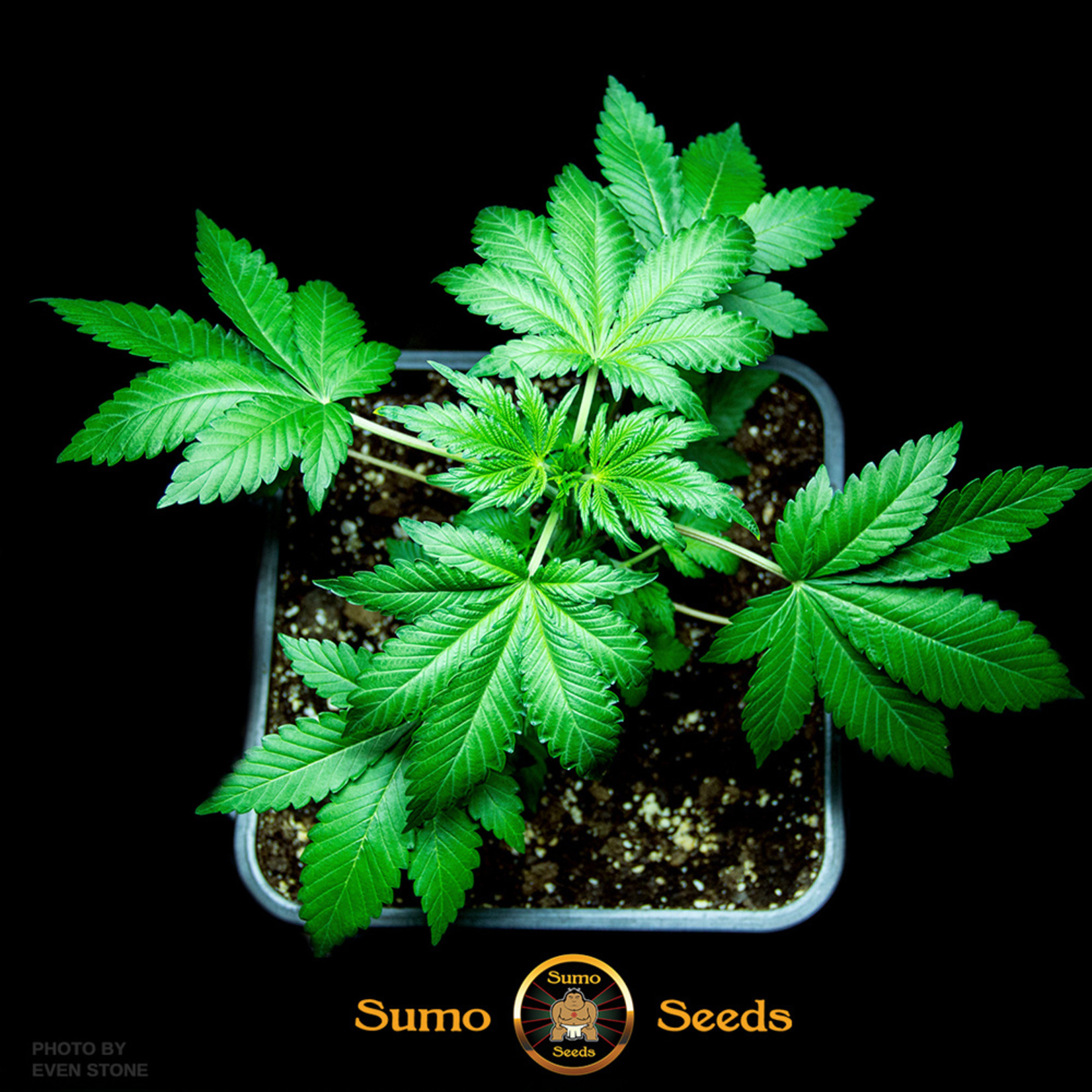 Berries & Cheese cannabis seeds